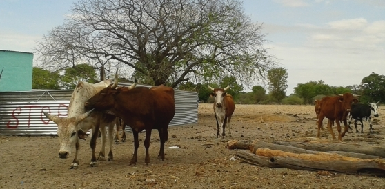 Livestock as wealth for rural Namibians